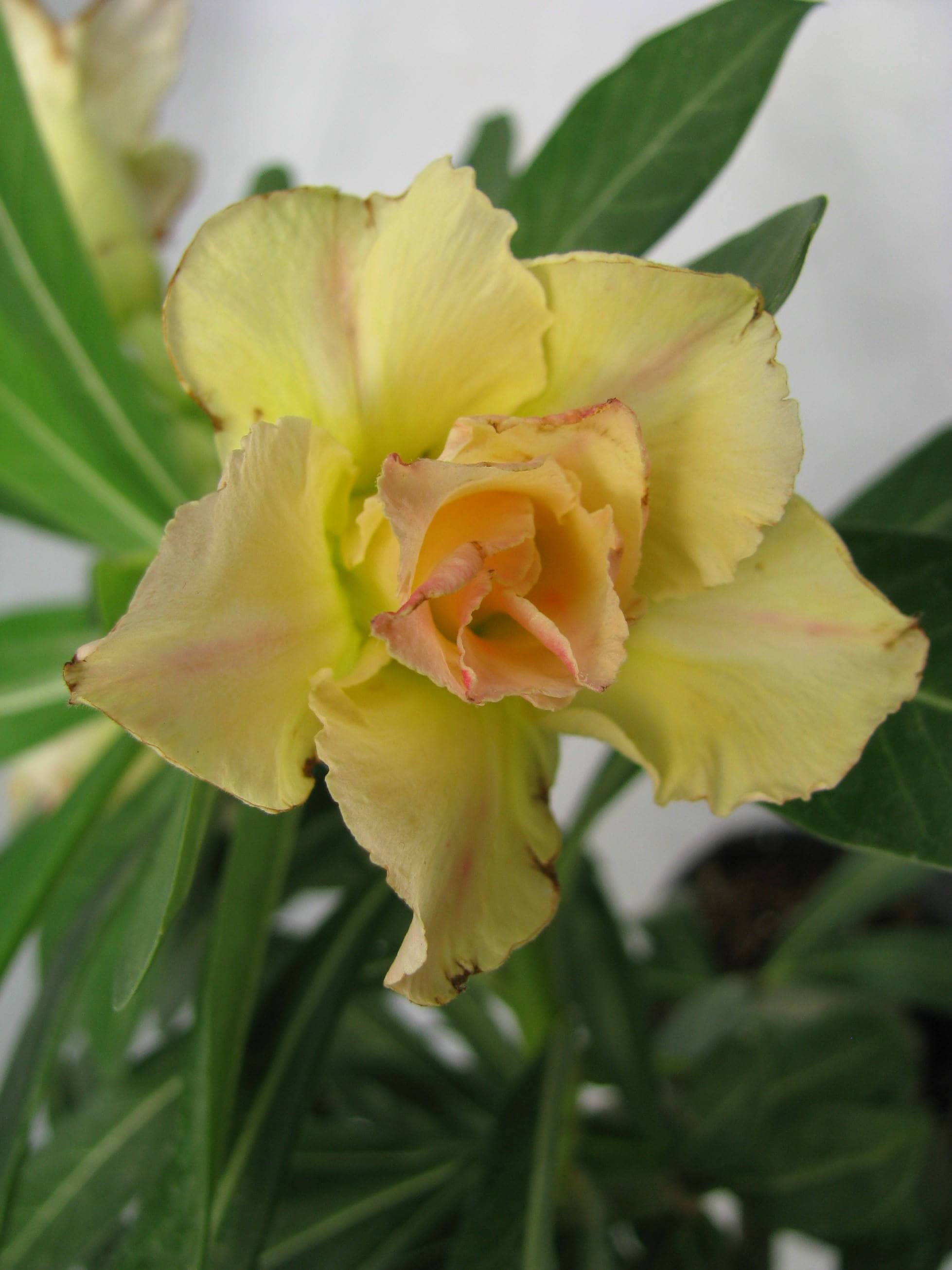 Adenium Obesumstunning Succulent Blooms Rare Double Flowers Etsy