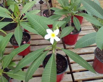 Plumeria plant,rooted beautiful deep lush tropical plants, white and yellow plumeria flower tropical foliage