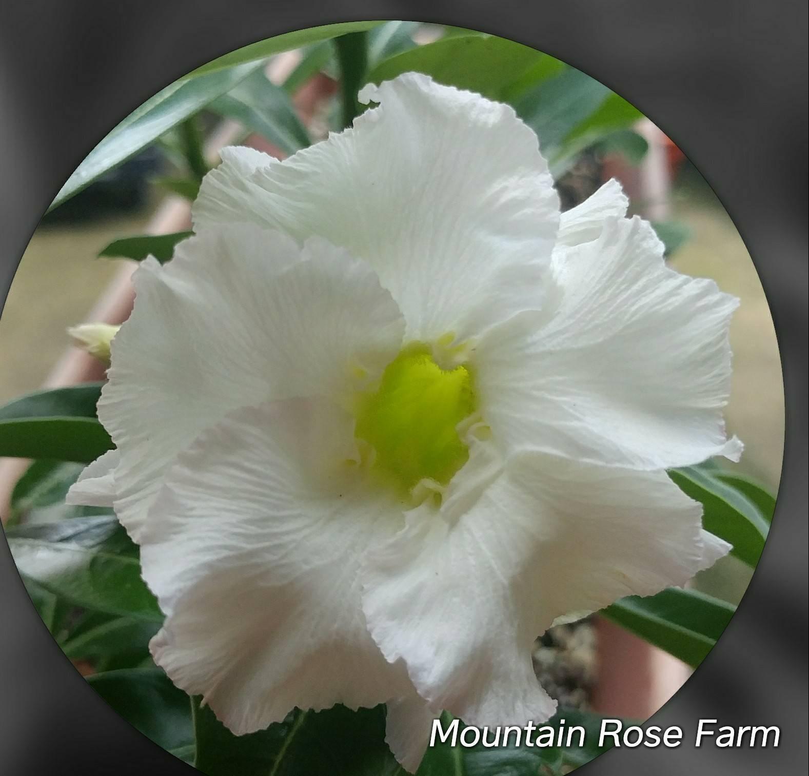 Desert Rose Plantadenium Obesum Live Succulent Double White Etsy