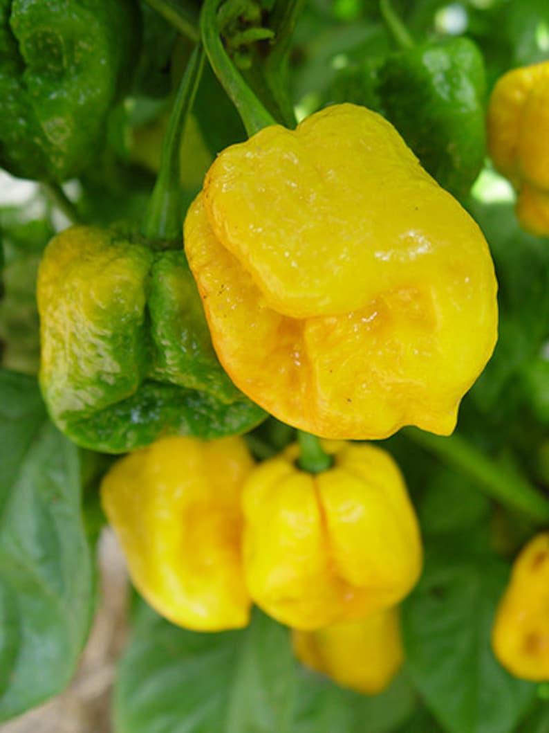 Trinidad Moruga Scorpion Yellow Hot Pepper Organic Non-GMO 24 Seeds