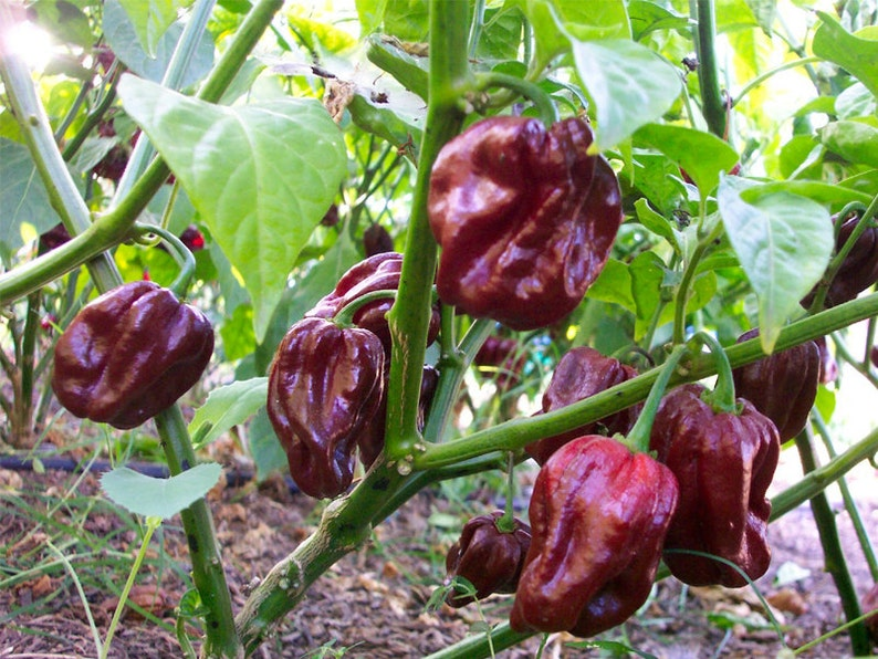 Habanero Brown Hot Pepper Organic Non-GMO 36 Seeds