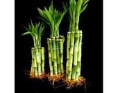 30 Stalks of Straight Lucky Bamboo (4 quot x10 Pcs 6 39 x10 Pcs 8 quot x10 Pcs) (FREE SHIPPING)