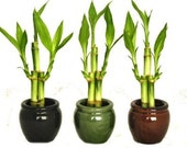 3 Colors Bamboo Style Mini Ceramic Vases and total 9 Stalks of Lucky Bamboo (FREE SHIPPING)