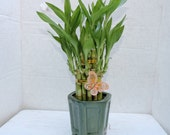 Live 2 Layer Cake Lucky Bamboo Plant Arrangement w butterfly Handmade Ceramic Pot green color 20 stalk (FREE SHIPPING)