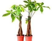 Two Money Tree 5 Plants Braided Into Pachira Tree