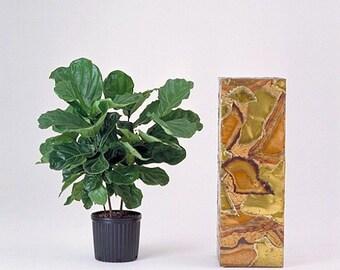 f2d0c87c91d Fiddleleaf Fig Tree - Ficus - Great Indoor Tree - Easy - 8