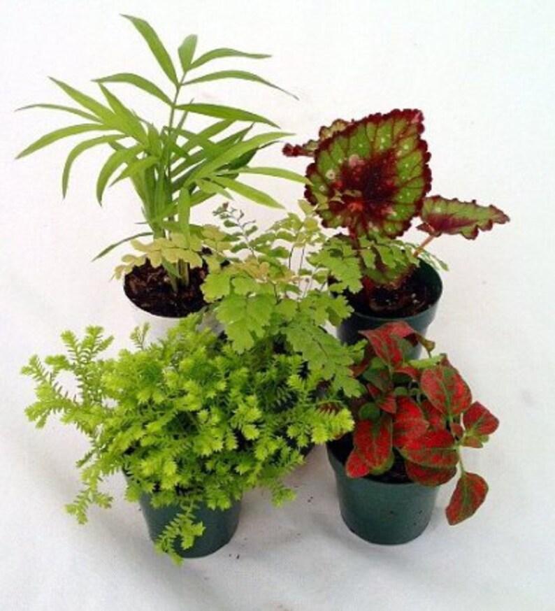 Terrarium Fairy Garden Plants 5 Plants In 2 Pots Etsy