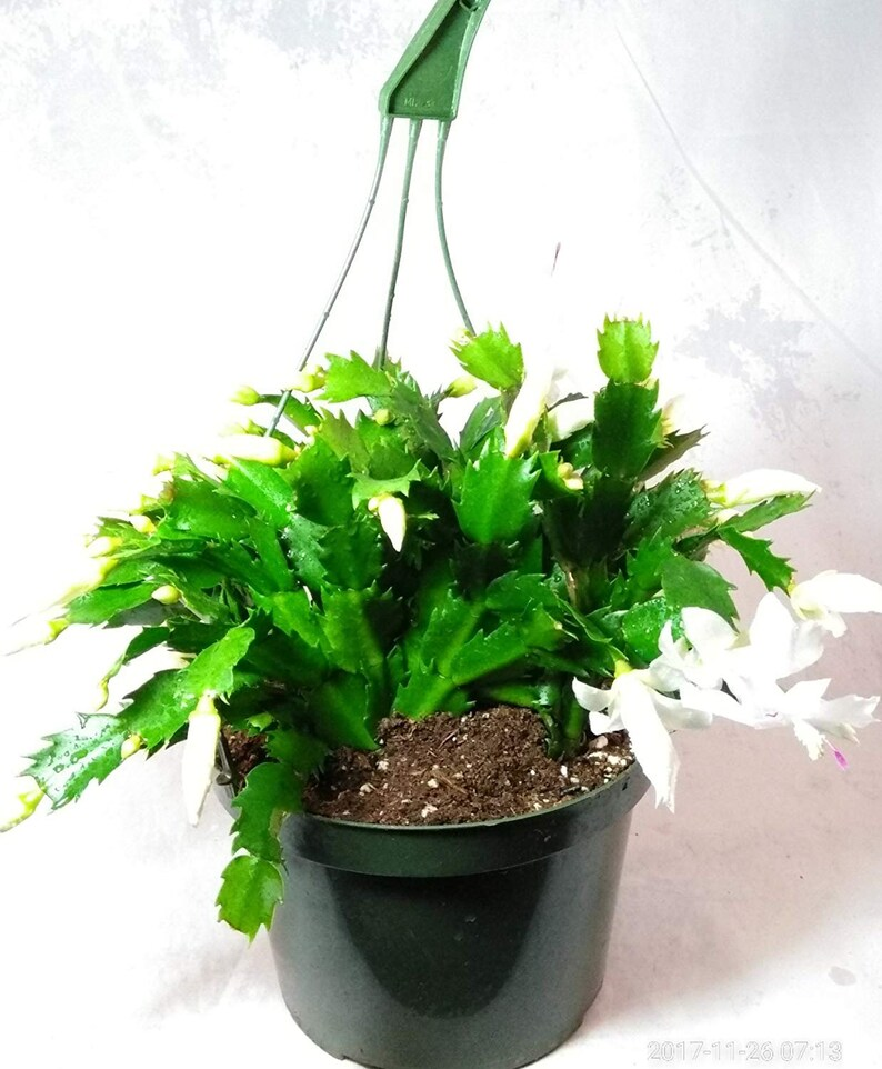 Christmas Cactus Plant.White Christmas Cactus Plant Zygocactus 8 Hanging Basket Free Shipping