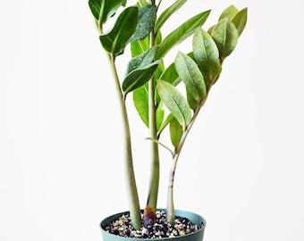 The  ZZ Plant - Zamioculcas Zamiifolia - 4'' Pot (FREE SHIPPING)