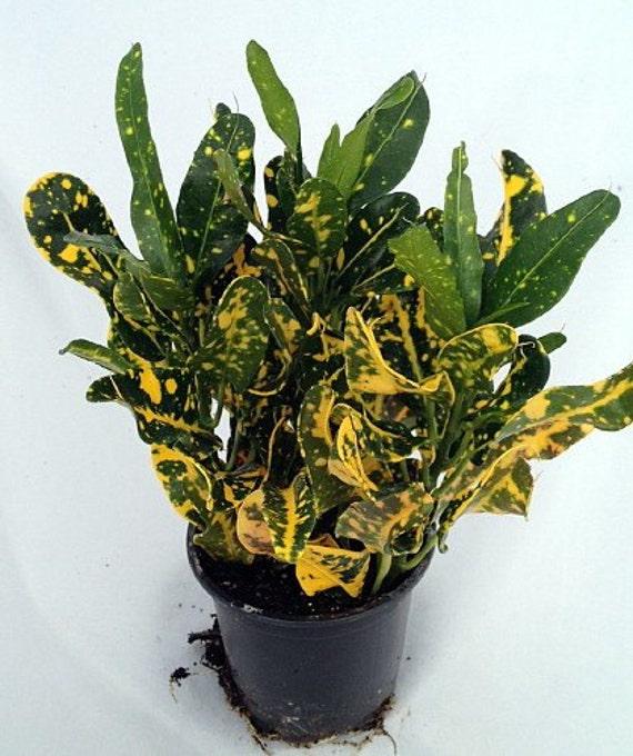 Banana Croton 3.5 Pot Colorful House Plant FREE
