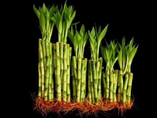 60 tiges de bambou tout droit chanceux (20 x x x 4