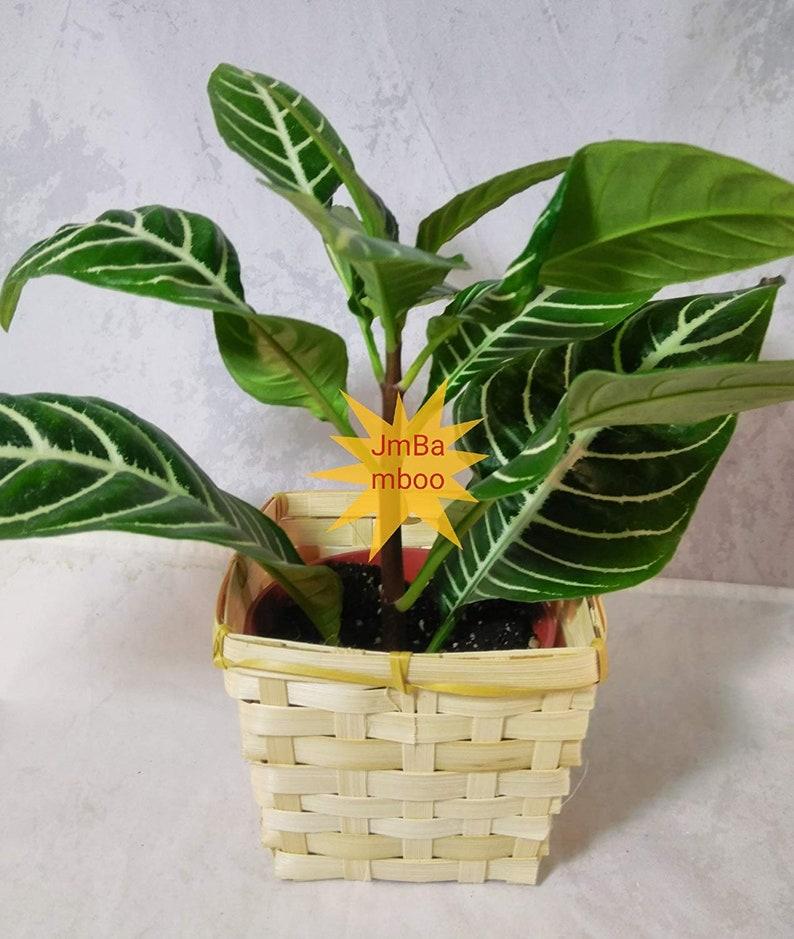Ze Plant - Aphelandra - square basket - Exotic & Unusual House Plant on