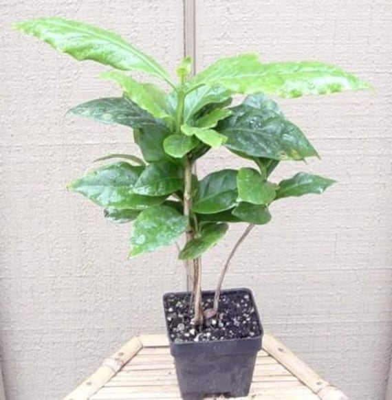 """Arabica Coffee Bean Plant 4/""""Pot Grow /& Brew Your Own Coffee Beans Best Gift Yard"""