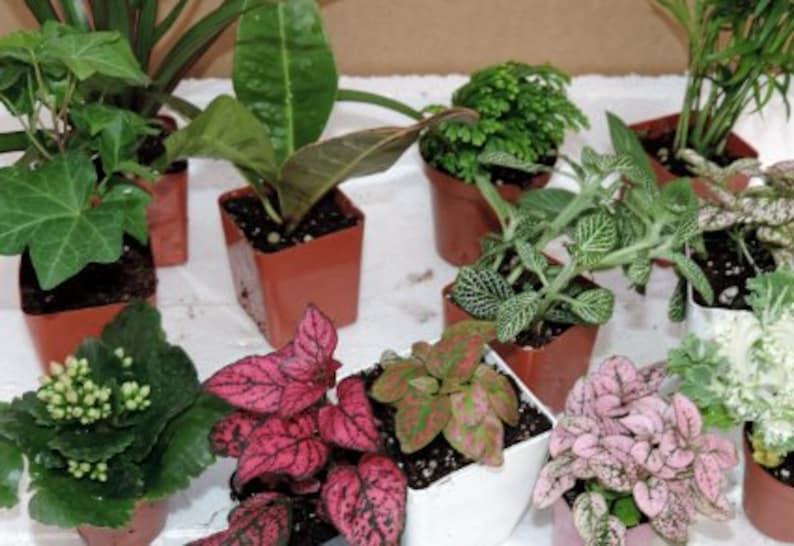 Terrarium Fairy Garden Plants 10 Plants In 2 5 Pots Etsy