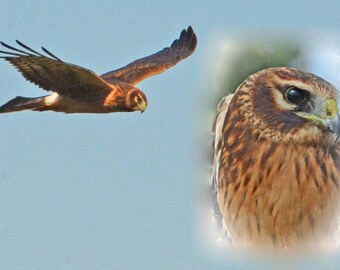 "Northern Harrier in flight, N. Harrier portrait, raptors, Vermont wildlife, flying hawk, birds of prey, Title; ""Field Stalker"""