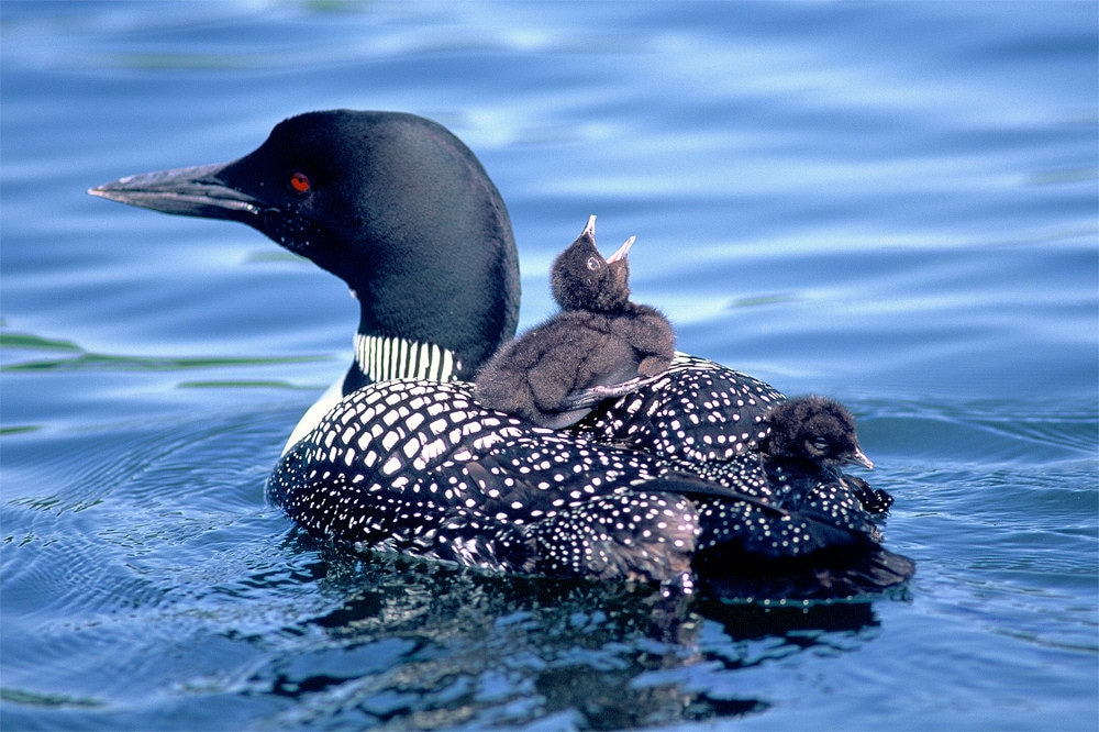 Loon with chicks on a lake cushion