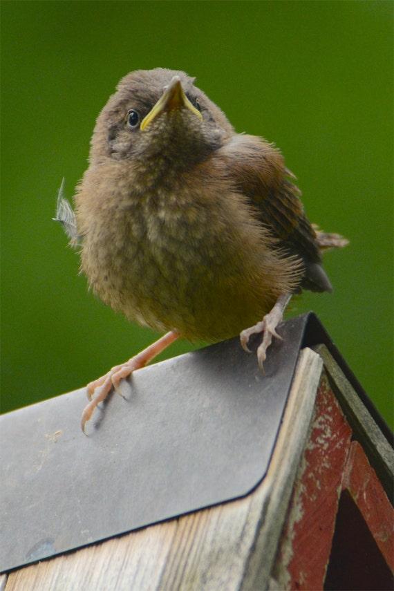 Haus Zaunkönig jungen süßen Vogel Bild Küken auf Nistkasten | Etsy
