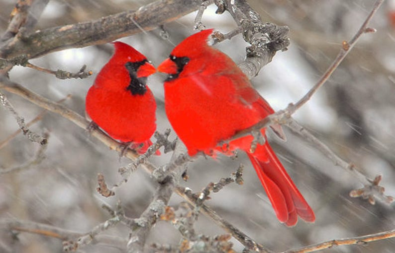 e9fc80ad2ed Two male cardinals cardinals in winter storm songbirds in