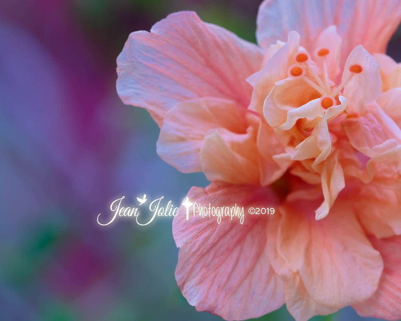 Flower Photography Nature Photography Hibiscus Photo Peach Etsy
