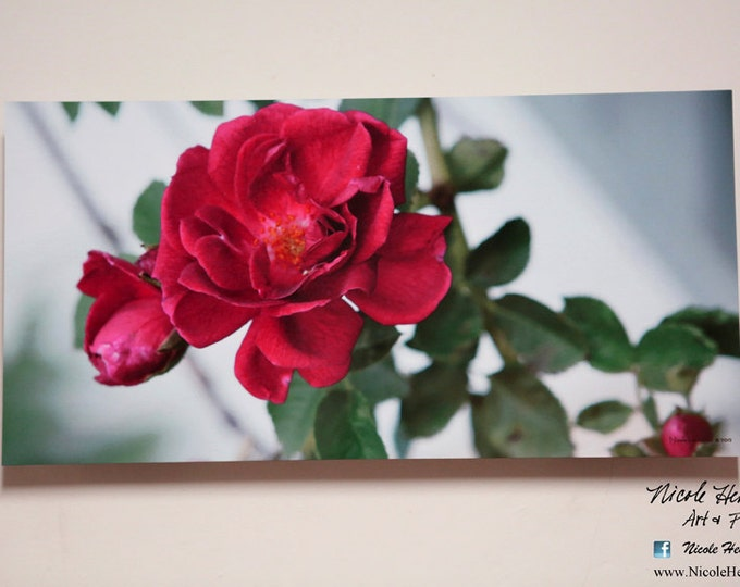 Rose Photo Print Flower photography Spring Decor Metal Print Mother's Day Gift for Mom her Garden flowers  Summer Decor by Nicole Heitzman