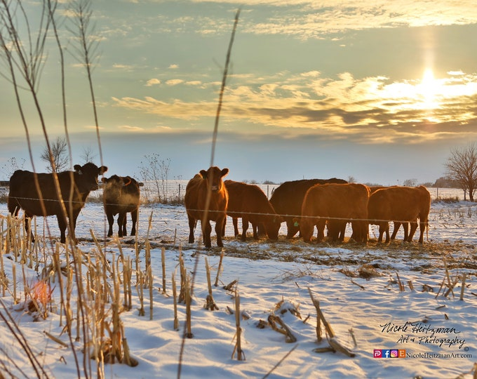 Angus Cattle Sunset Photo country life farming Livestock South Dakota sunset photography by Nicole Heitzman