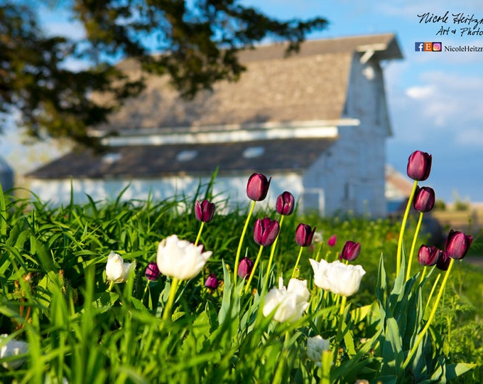 Spring Flowers Tulips Barn Photography Farm Photo Country Decor Mother's Day Gift for Mom her Metal Print farmhouse rustic barnwood decor