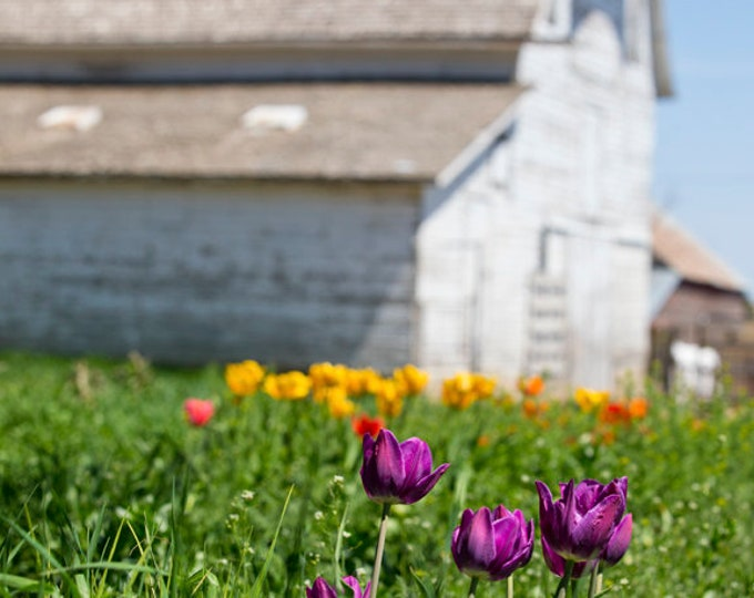 Spring Flowers Tulips Barn Photography Farm Photo Country Decor Mother's Day Gift for her Mom Metal Print rustic barnwood farmstead farm art