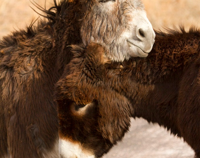 Donkey photography Begging Burro Photo cute animals in Custer State Park Black Hills  Father's Day Gift for Kids room art by Nicole Heitzman