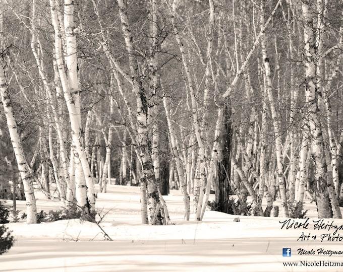 Aspen Tree Photo Birch Tree Photography Snow Photography Frosty South Dakota Black Hills Tree Scene Winter Photography by Nicole Heitzman