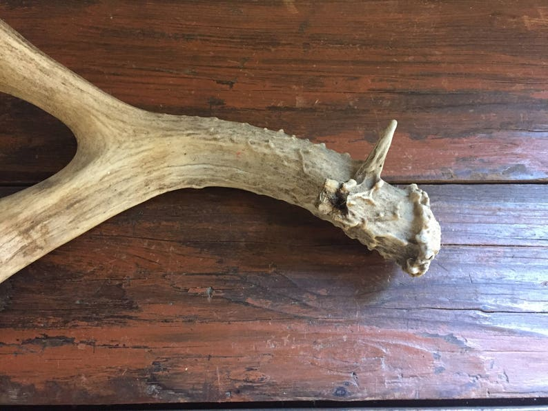 Deer Antler  Vintage Taxidermy  Four Point  Home Decor  Cabinet of Curiosities  Bones and Skull  Craft Project Supply