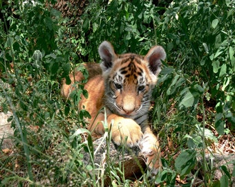 Tiger Cub Hiding in Grass Undergrowth A4 Art Image Print + FREE Pencil Print Downloadable item