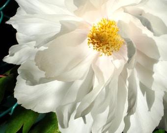 White Flower - Japan