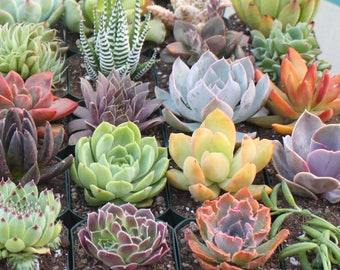 Four Colorful Succulents, YOU CHOOSE 4, Succulent, Succulents, Succulent Plants, Hens and Chicks, Wedding Favors, Party Favors