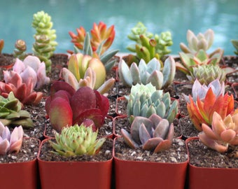 30 Colorful Succulents in 2 inch pots, Succulent, Succulents, Succulent Plants, Hens and Chicks, Terrarium Plants, Bulk Succulents