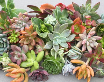 50 Colorful Succulent Cuttings, Succulent Clippings, Succulent, Succulents, Succulent Plants, Bulk Succulents