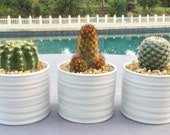 SPECIAL ORDER for Cassandra 3 Cacti in Contemporary Ceramic Containers, one Moon Cactus