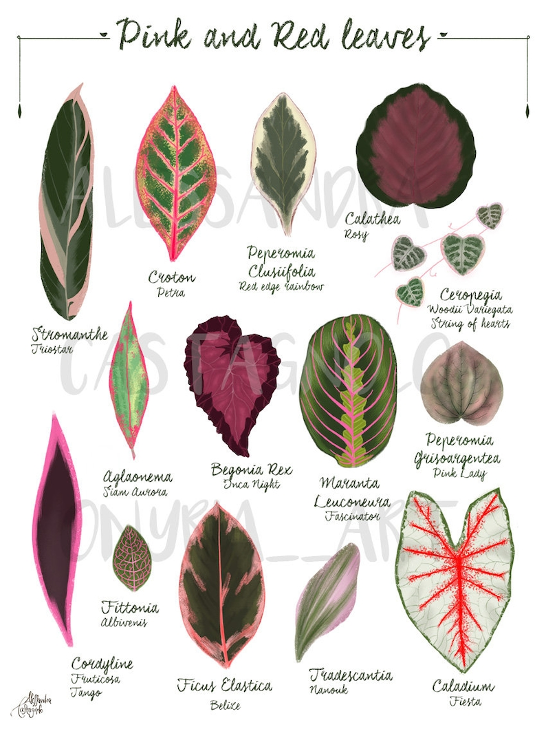 Pink and Red Tropical leaves plant illustration botanical image 0