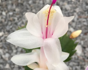 """White petals with pink center Christmas Cactus """"Malissa""""  - Live Christmas Cactus Plant - Thanksgiving Cactus - Holiday Cactus"""