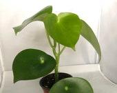 Raindrop Peperomia - Peperomia - Peperomia polybotrya - Large 4 quot - False Chinese Money Plant - RainDrop Plant - Rare Plant -Rare perp