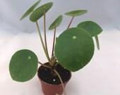Pilea - Pilea Plant - Pilea peperomioides - Chinese Money Plant - UFO Plant - Pancake Plant - Rare Plants - Unique Plants - 2 quot Pot - Gift