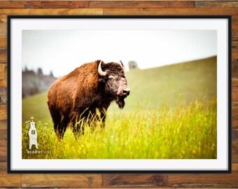 Country Home Decor, Buffalo, Rustic Cabin Decor, Western Animals, Fathers Day, Buffalo Print, Buffalo Photography, Bison Photography