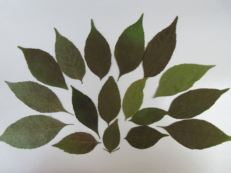110PC pressed dried greenery leaves big small real dry leaf confetti natural unique botanical educational art craft embellishment bulk