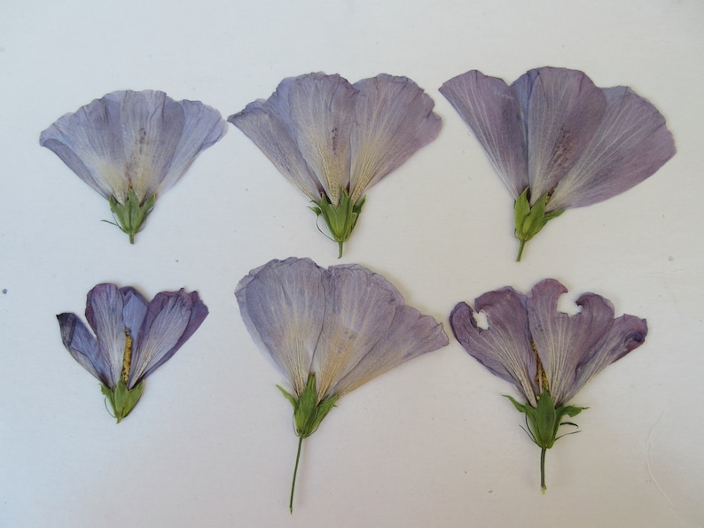 Hibiscus pressed Purple dried flowers leaf on stem real unique dry As-Is Natural Condition See Details 6 Stem 10 Flowerhead 10Leaf Mix Vary