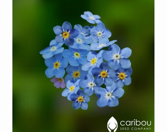 Forget Me Not Seeds Blue by Country Value FREE UK DELIVERY Flower Seeds