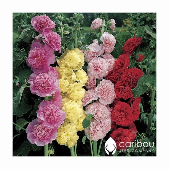 Hollyhock chater Scarlet Flower 20 Seeds