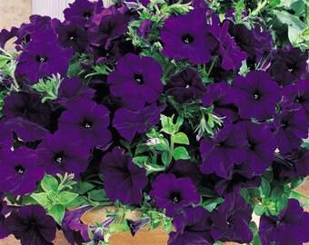 RAMBLIN NU BLUE Petunia Seeds - Trailing Petunia, Large Flowers, Fresh & High Quality Seed (10 seeds)