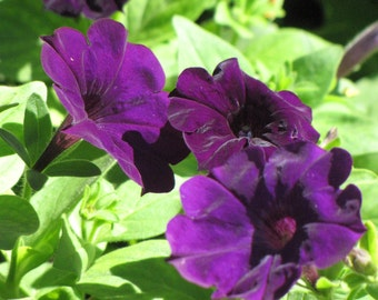Dreams VIOLET PETUNIA Seeds - Stunning Color, High Rain & Cold Tolerance, Fresh Quality Seed (30-35 seeds)
