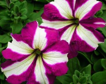 TRITUNIA PURPLE STAR Petunia Seeds - Large Blooms, High Quality Seed & Germination (30 - 35 seeds)