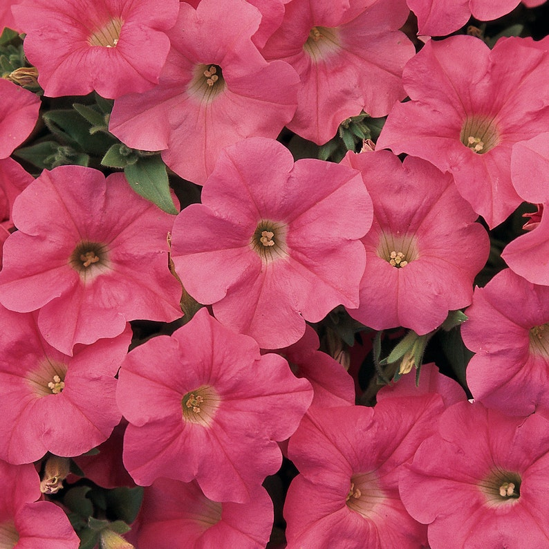 Easy Wave Salmon Petunia Seeds Spreading Trailing Variety Etsy