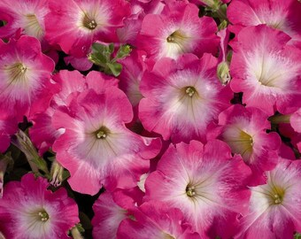 CELEBRITY PINK MORN Petunia Seeds - Best Rain Tolerance,  Fresh Seed, Strong Color (30 - 35 seeds)